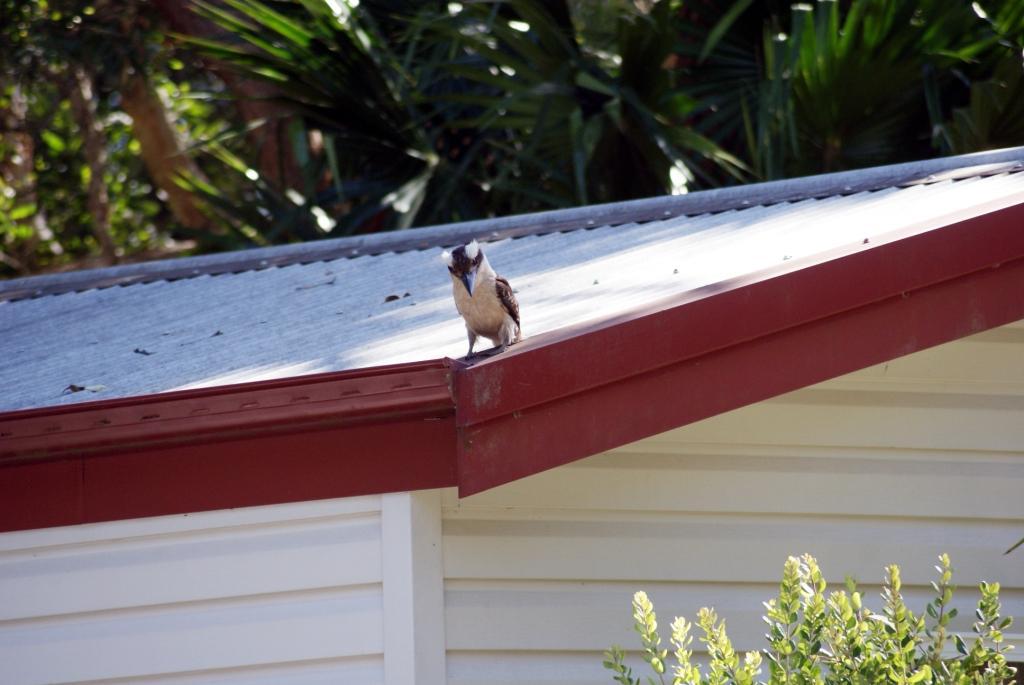 Elizabeth Beach, птица Кукабара (гигантский зимородок)