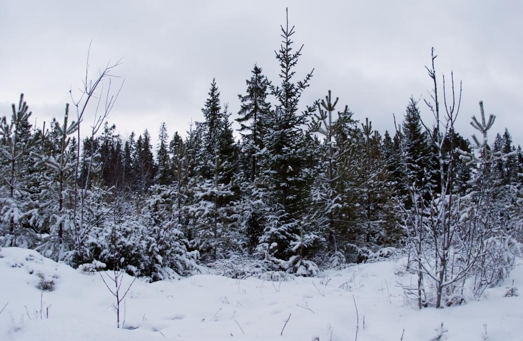 Заснеженный лес в Östersund